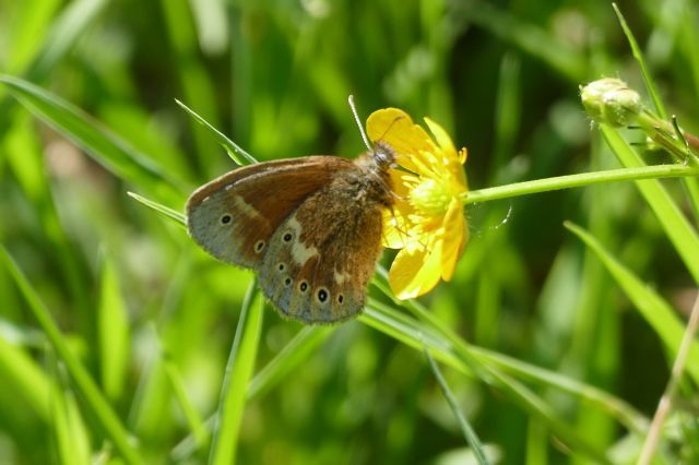 Large Heath - Coenonympha tullia