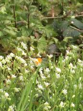 Orange tip butterfly Anthocharis cardamines on Greater Stitchwort Stellaria holostea.
