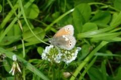Large-Heath-Butterfly, Crowle Moor.