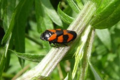 Red-and-Black-Froghopper, Crowle Moore.