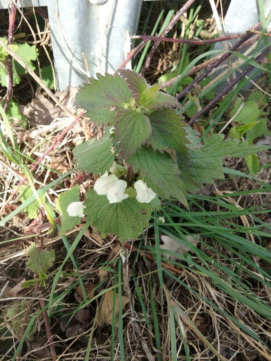 White Dead-nettle (Lamium album), Manor Farm.