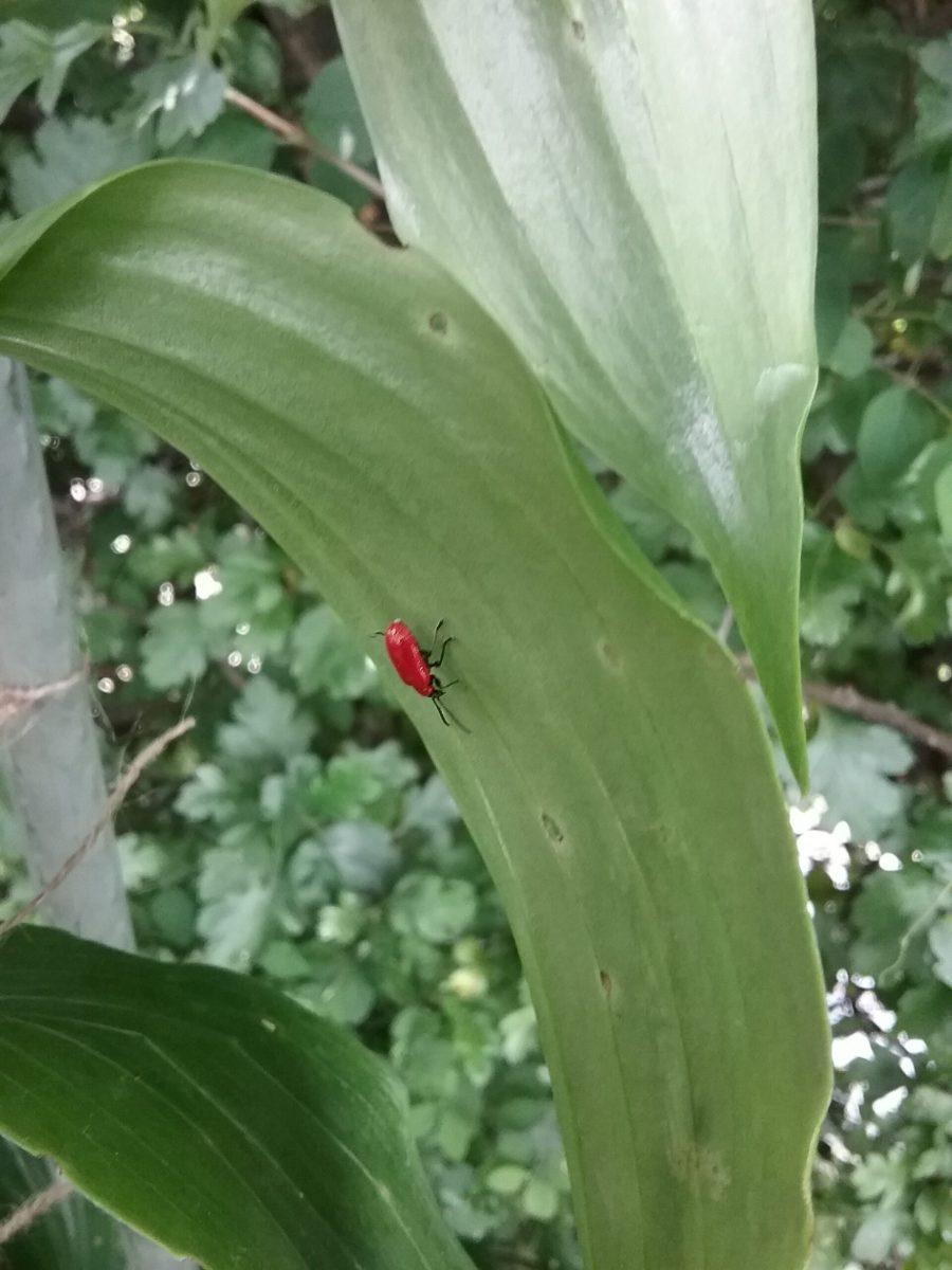 Lily beetle (Lilioceris lilii), Bessacarr