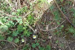 Field Pansy ( Viola arvensis), Manor Farm.