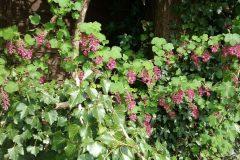 Flowering Currant (Ribes sanguineum), Bessacarr Lane.