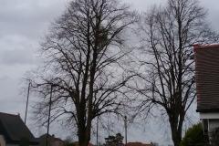 Mistletoe-Viscum-album-near-Bawtry-Road-Doncaster.-2-2