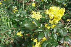 Oregon Grape (Mahonia aquifolium), Bessacarr Lane