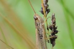 Common Field Grasshopper - Chorthippus brunneus, Denaby Ings (Missing rear legs).