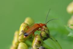 Common Red Soldier Beetle - Rhagonycha fulva, Denaby Ings.