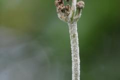 Unknown fungus on Meadow Sweet, Denaby Ings.