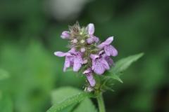 Field Woundwort - Stachys arvensis, Denaby Ings.