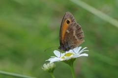 Gatekeeper - Pyronia tithonus, Denaby Ings.