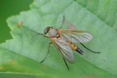 Marsh-Snipe-Fly-Rhagio-tringarius-6297-Edit