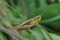 Meadow Grasshopper - Chorthippus parallelus, Denaby Ings.