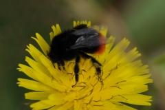 Red-tailed Bumblebee - Bombus lapidarius, Denaby Ings.