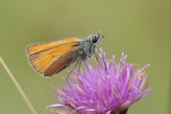 Small Skipper - Thymelicus sylvestris, Denaby Ings.