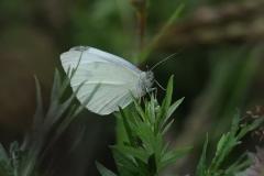 Small White - Pieris rapae, Denaby Ings.