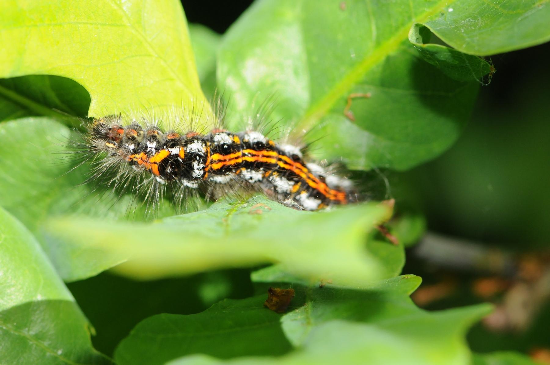 Caterpillar of Yellow-tail Moth - Euproctis simillis, Denaby Ings