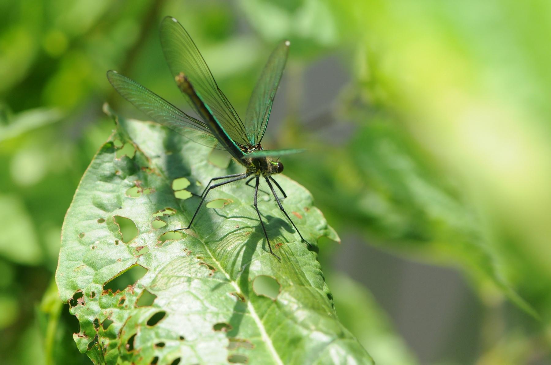 Banded Damoiselle - Calopteryx splendens (female), Denaby Ings.