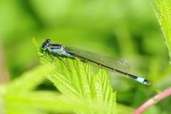 Blue-tailed Damselfly - Ischnura elegans, Denaby Ings.