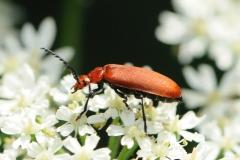 Cardinal Beetle - Pyrochroa serraticornis, Denaby Ings.