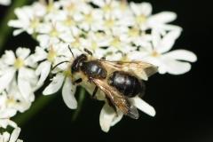 Unknown Bee, Denaby Ings.