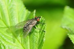 Flesh Fly - Sarcophaga carnaria, Denaby Ings.