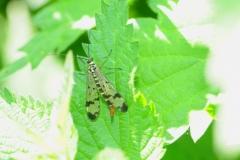 Scorpion Fly - Panorpa communis, Denaby Ings.
