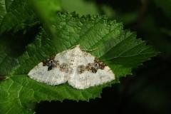 Silver-ground Carpet - Xanthorhoe montanata, Denaby Ings