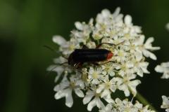 Soldier Beetle - Cantharis rustica, Denaby Ings