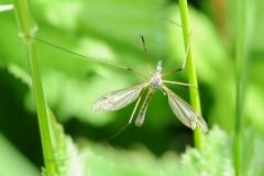Tipula vernalis, Denaby Ings.