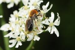 Tree Bumblebee - Bombus hypnorum, Denaby Ings.