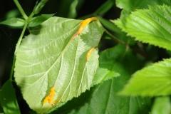 Triphragmium ulmariae on Filipendula ulmaria (Meadowsweet) .