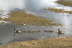 Canada Geese from the Family Hide