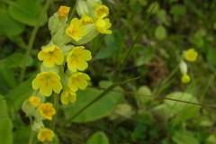 Cowslip (Primula veris), RSPB Old Moor