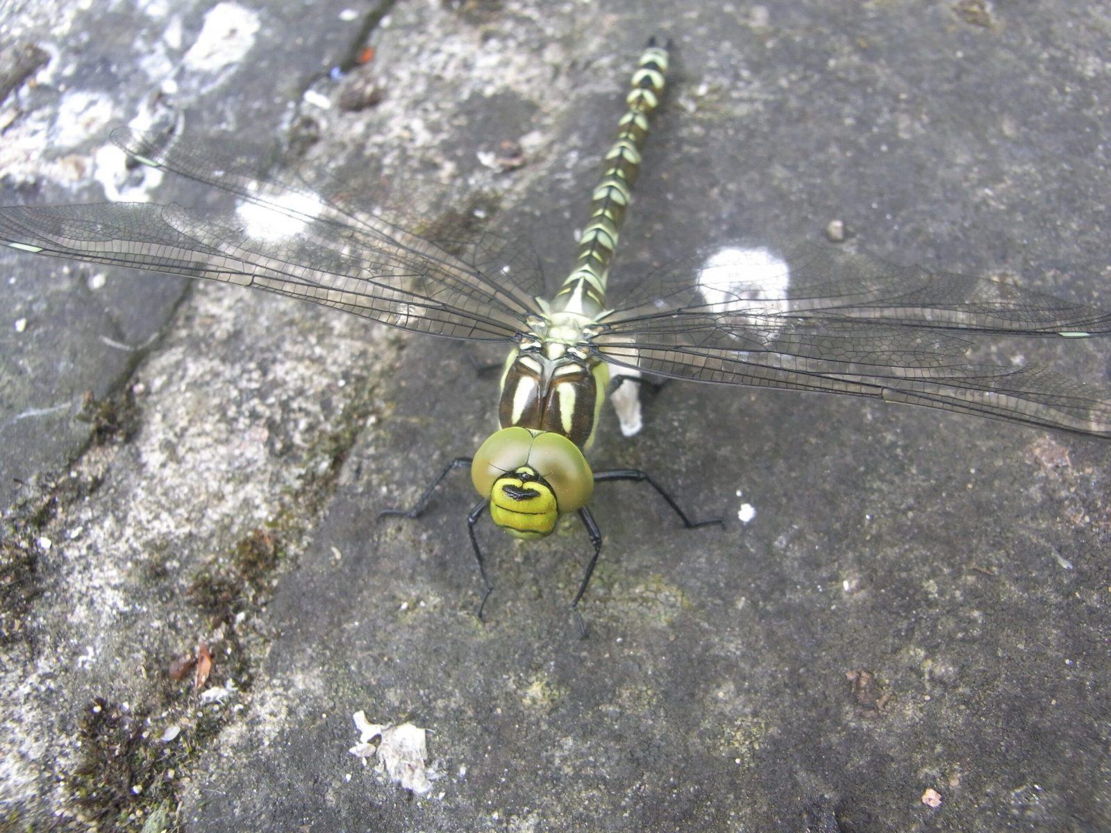Southern Hawker - Aeshna cyanea (female), Finningley.