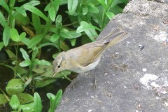 Unknown Warbler, Finningley