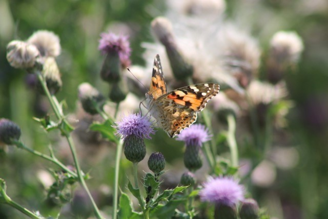 Painted Lady, Misson.
