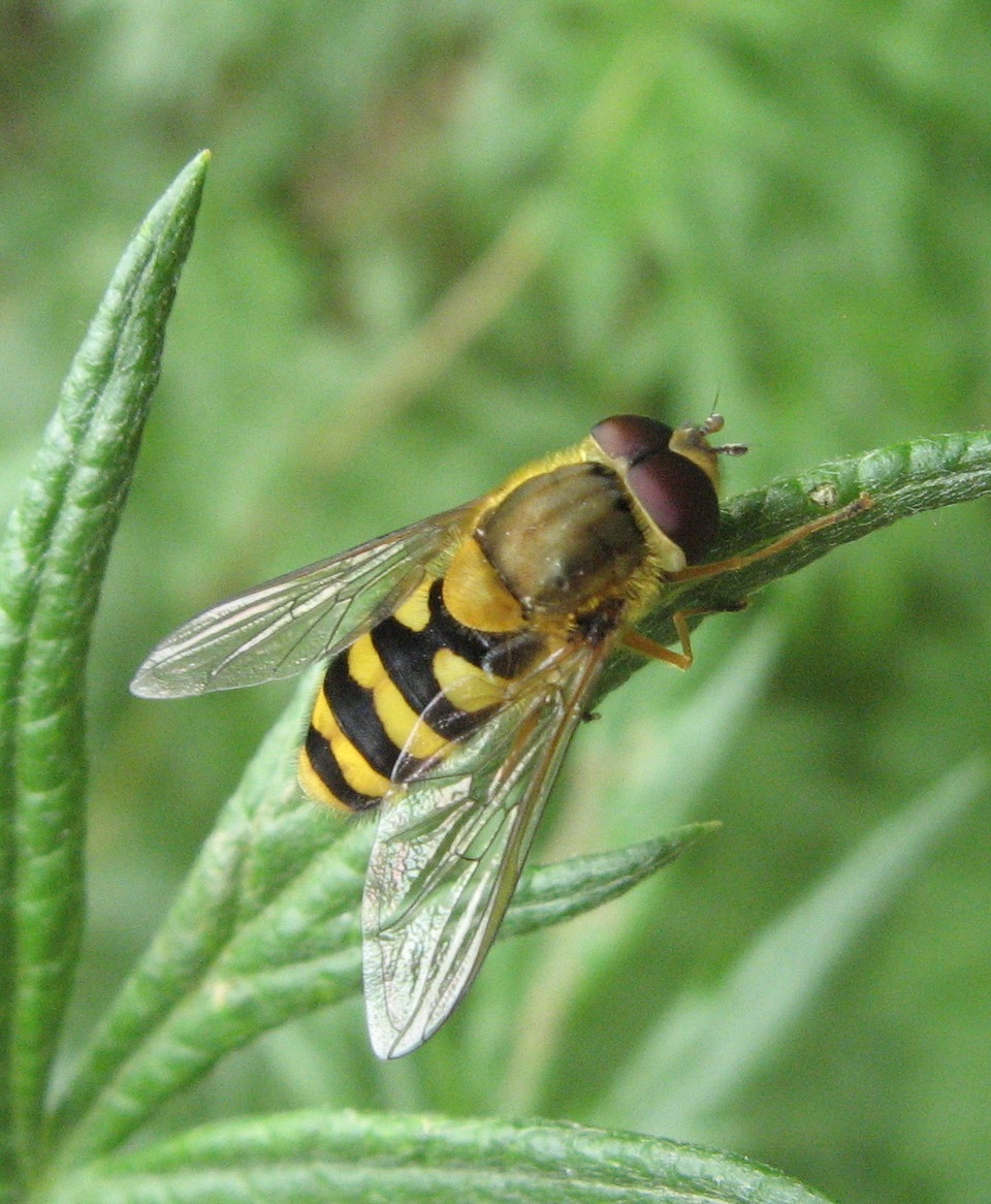 Hoverfly at Adwick Washlands