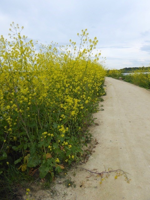 Black Mustard at St Aidan's