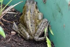 Common Frog (Rana temporaria), Intake, Doncaster.
