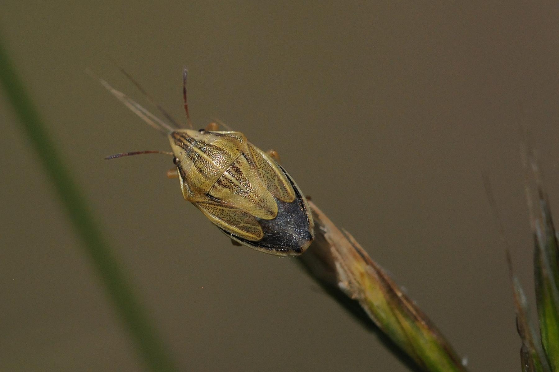 Bishop's Mitre Shieldbug - Aelia acuminata, Anston Stones.