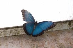 Blue Morpho - Morpho peleides, Anston butterfly farm.