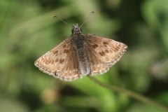 Dingy Skipper - Erynnis tages, Anston Stones Wood