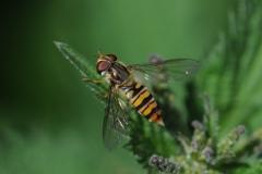 Episyrphus balteatus - Marmalade Hoverfly, Anston Stones