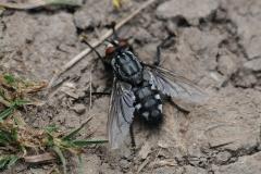 Flesh Fly - Sarcophaga carnaria, Anston Stones.