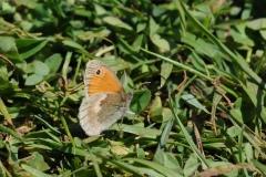 Small Heath - Coenonympha pamphilus, Anston Stones.