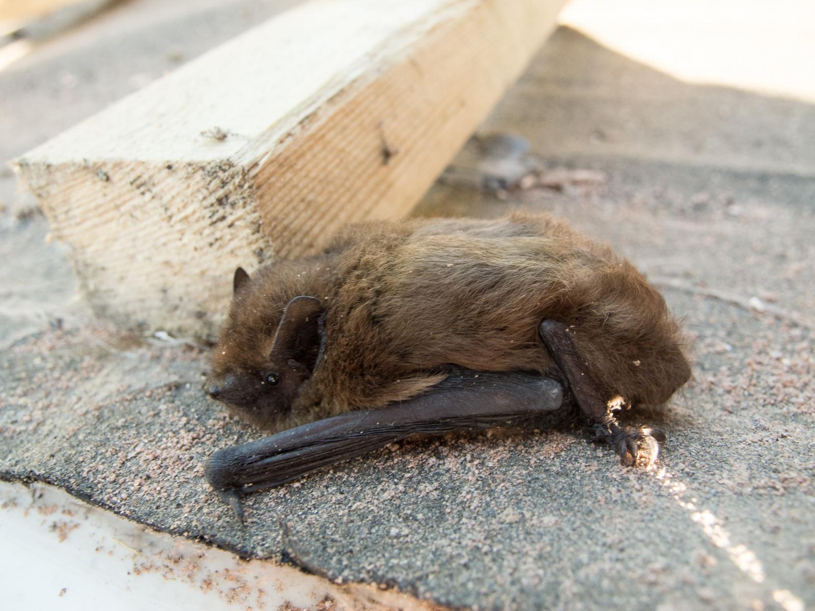 Pipistrellus pipistrellus - Common Pipistrelles