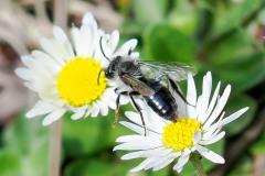 Andrena cineraria (male) Ashy Mining Bee, Thorne Moor