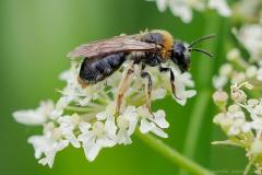 Andrena haemorrhoa -  Oranged-tailed Mining Bee, Thorne Moor