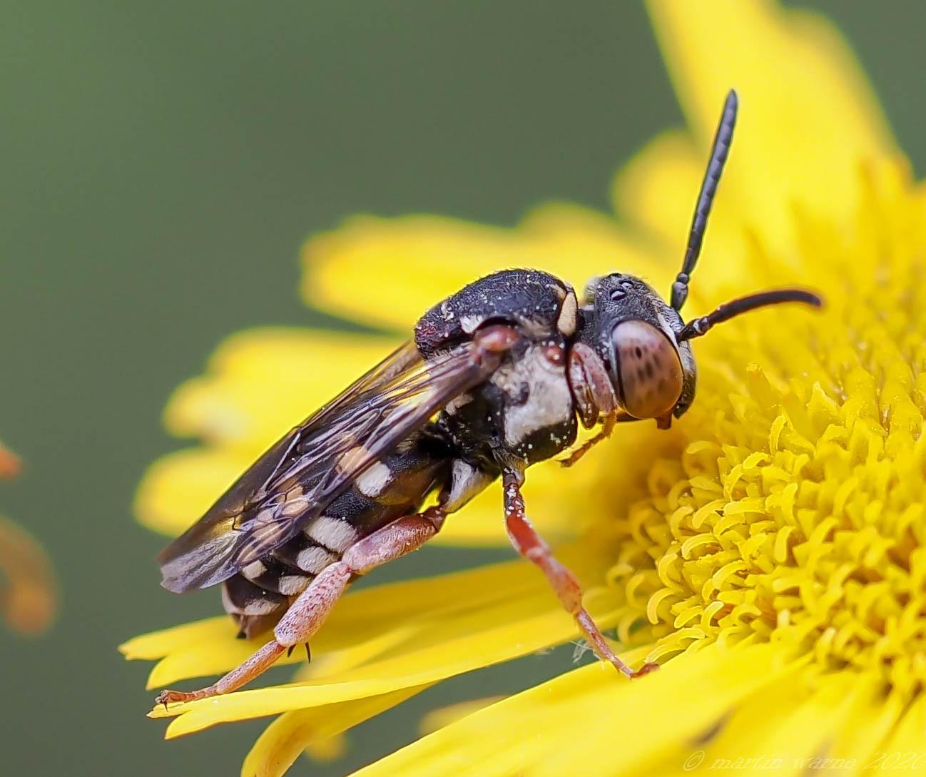 Epeolus-spp - Variegated Cuckoo Bees, Thorne Moor